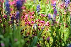 Weiche- und Unschärfekonzeption Schönes kleines Blühen der rosa und blauen Blumen im Gartenabschluß oben auf dem Hintergrund von Stockfotos