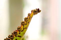 Weiche verwischt und Weichzeichnung die Oberflächenbeschaffenheit von grünen Blättern von Kalanchoe Lizenzfreies Stockbild