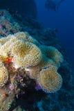 Weiche weiße Koralle, der Indische Ozean Unterwasser Lizenzfreie Stockfotografie