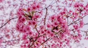 Weiche wilde Himalajakirschblume (Prunus cerasoides), riesige Tigerblume in Thailand, selektiver Fokus Stockbilder
