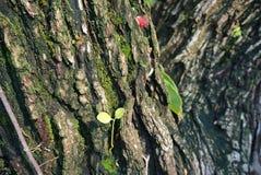 Weicher Baum, der auf der Barke eines großen Baums mit schönen Mustern ein Moosgrün wächst Stockbilder