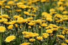 Weicher Fokus auf Feld des hellen gelben Löwenzahns lizenzfreie stockbilder