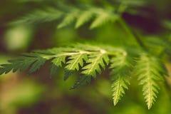 Weicher grüner Farn der Weinlese treibt auf unscharfem Hintergrund mit bokeh Blätter Stockfotos