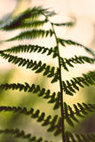 Weicher grüner Farn der Weinlese treibt auf unscharfem Hintergrund mit bokeh Blätter Stockbild