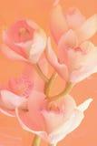 Weicher Orchideetraum Stockbild