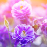 Weicher zarter mit Blumenhintergrund mit blauem Garten blüht Lizenzfreie Stockfotografie