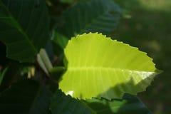 Weiches grünes Blatt mit Sonnenlicht stockbild