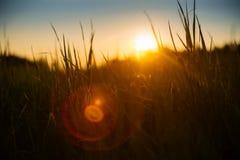 Weiches Hintergrundbeleuchtungswiesengras während des Sonnenuntergangs Stockfoto