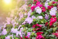 weiches Licht der bunten Petunienblume Stockbild