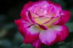 Weiches Makro einer zarten Rose Doppelt-Freude Rote Blumenblätter werden mit Regentropfen oder Morgentau bedeckt Tageslicht stockbild