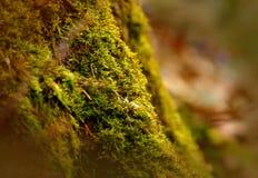 Weiches Moos im Wald, Makroaufnahme. Mit dem Makroobjektiv 90mm fotografiertes Moos mit Tannennadeln im Wald, Österreich, SONY DSC royalty free stock images
