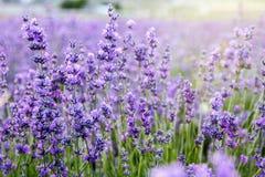 Weiches Sonnenlicht über einem violetten Lavendelfeldhintergrund stockbilder