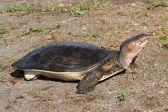 Weichschalige Schildkröte Stockfotografie