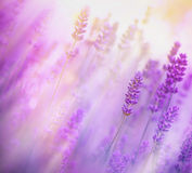 Weichzeichnung auf Lavendel Stockbild