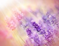 Weichzeichnung auf Lavendel mit Sonnenlicht Lizenzfreie Stockfotografie