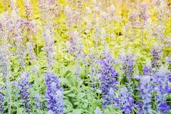 Weichzeichnung auf Lavendelblume im Garten Stockfotografie