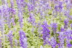 Weichzeichnung auf Lavendelblume im Garten Stockfotos