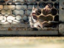Weichzeichnung der Ratte in einem Käfig, der eine Ratte fängt die Ratte hat Ansteckung die Krankheit zu den Menschen wie Leptospi Stockbilder