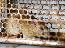 Weichzeichnung der Ratte in einem Käfig, der eine Ratte fängt die Ratte hat Ansteckung die Krankheit zu den Menschen wie Leptospi Stockfotografie