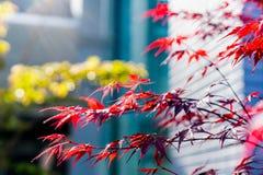 Weichzeichnung von roten Acer palmatum Ahornblättern in Japan Stockfotografie