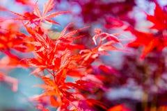 Weichzeichnung von roten Acer palmatum Ahornblättern in Japan Stockfotos