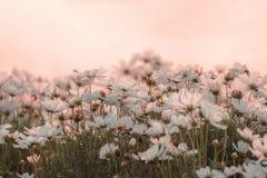 Weichzeichnung, weiße Blumen in der Abendatmosphäre Lizenzfreie Stockfotos