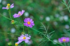 Weichzeichnungs-Kosmosblumen im Garten Stockbild