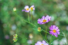 Weichzeichnungs-Kosmosblumen im Garten Lizenzfreie Stockfotos