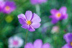 Weichzeichnungs-Kosmosblumen im Garten Lizenzfreies Stockfoto