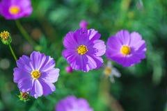 Weichzeichnungs-Kosmosblumen im Garten Stockbilder