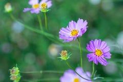 Weichzeichnungs-Kosmosblumen im Garten Stockfotografie
