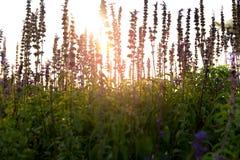 Weichzeichnungs-Lavendel blüht auf dem Gebiet bei Sonnenuntergang lizenzfreies stockbild
