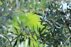 Weichzeichnungs-Olive Tree-Blätter mit grünem Hintergrund Stockbild