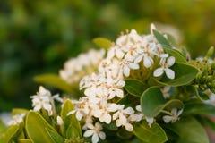 Weichzeichnungsnahaufnahme weißer Ixora-Blume Lizenzfreies Stockfoto
