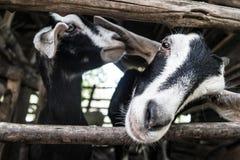 Weichzeichnungsziegen-Tierpaare lizenzfreies stockbild