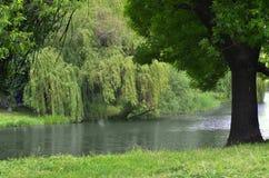 Weide über dem Fluss Stockfotografie