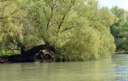 Weide über dem Wasser Stockbild
