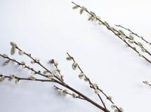 Weide auf einem weißen Hintergrund für Palmsonntag Weidenkätzchen auf weißem Hintergrundkopienraum Ostern, Weidenzweige lizenzfreies stockfoto