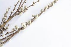 Weide auf einem weißen Hintergrund für Palmsonntag Weidenkätzchen auf weißem Hintergrundkopienraum Ostern, Weidenzweige stockfotografie