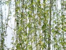Weide-Baum Lizenzfreie Stockfotografie