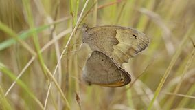 Weide bruine vlinders - Maniola-jurtina stock video