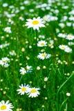 Weide: De bloemen van de kamille Stock Afbeeldingen