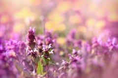 Weide in de lente - gebloeide, bloeiende purpere bloem royalty-vrije stock fotografie