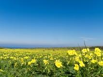 Weide die met gele bloemen wordt gevuld stock foto's