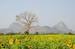 Weide die met tot bloei komende zonnebloem wordt gevuld. Stock Afbeeldingen