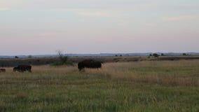 Weide en bizon stock footage