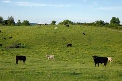 Weide gezüchtete Kühe am Feld Lizenzfreie Stockfotografie