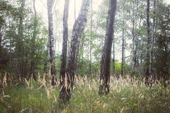 Weide in het berk-boom bos Royalty-vrije Stock Fotografie