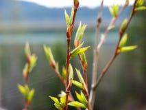 Weide knospt im Frühjahr Stockfotos