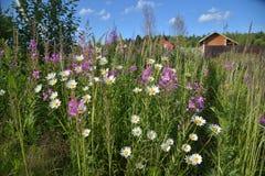 Weide-Kraut und Kamille auf dem Gebiet Lizenzfreies Stockfoto